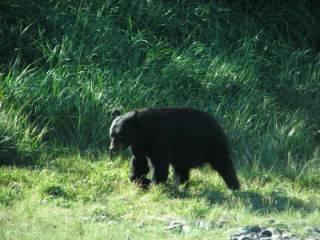 Kenai Lodge black bear