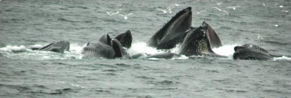 Sea Lion cruise, humpback whales bubble-net feeding