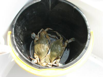Blue Crabs caught  by chickennecking off Dogwood Harbor, Tilghman Island