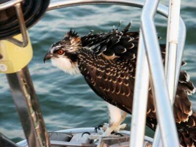 Osprey on Moira's bowsprit, Tilghman Island