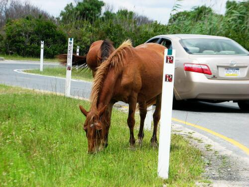 Assateague Seashore ponies