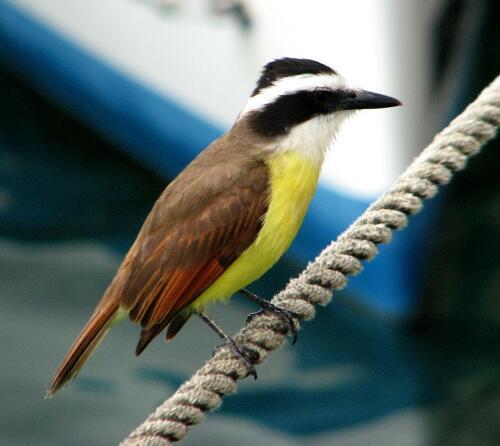 Bird, Puerto Aventuras Marina
