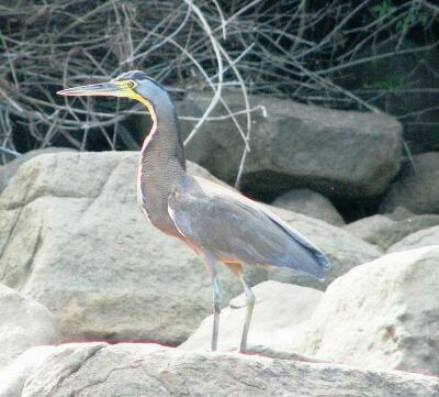 Heron Isla Ampon, Panama