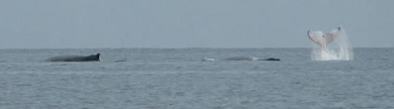 Pod of humpback whales, Isla Contadora, Panama