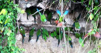 Parrots on clay cliff, Achuar territory, Oriente de Ecuador