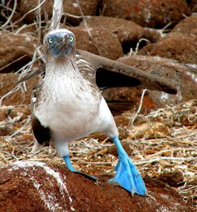 Blue-footed boobie, Galapagos, Ecuador