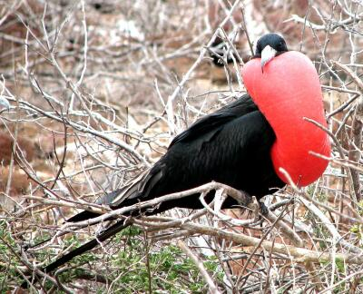 Frigate bird (male) in mating display, Galapagos, Ecuador