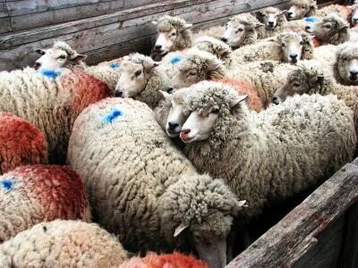 Sheep at Estancia Cerro Negro, Chile