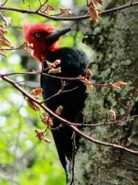 Magellanic woodpecker, Torres del Paine, Chle