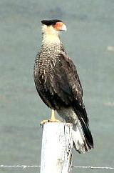 Southern crested caracara, Torres del Paine Chile