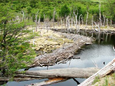 Parque Nacional Tierra del Fuego, Argentina, beaver (castor) dam
